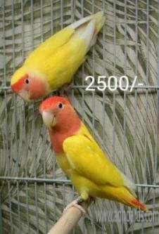 African Lovebirds For Sale - Nellore Adhoards