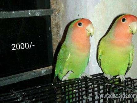 African Lovebirds For Sale -Nellore Adhoards