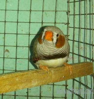 Jumbo Finches Available - Nellore Adhoards