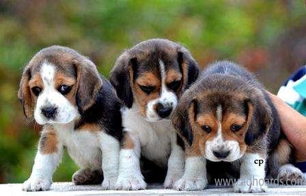 KCI Regd Beagle Puppies Available -Coimbatore Adhoards