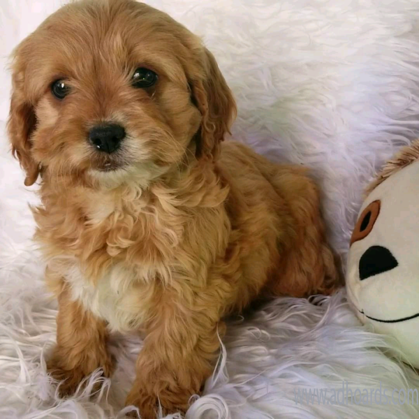 Toy Cavoodles (Cavalier KC X Toy Poodle) -Newcastle Adhoards