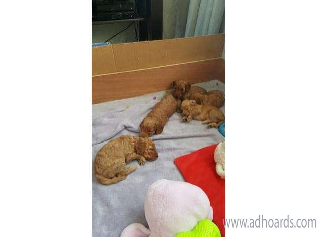 F1b Cockapoo Puppies For Sale -County Durham Adhoards