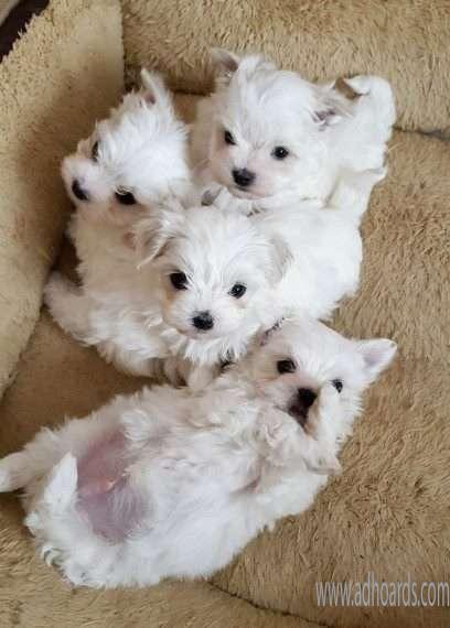 Very Cute MicroTeacup Maltese Puppies Males And Females For